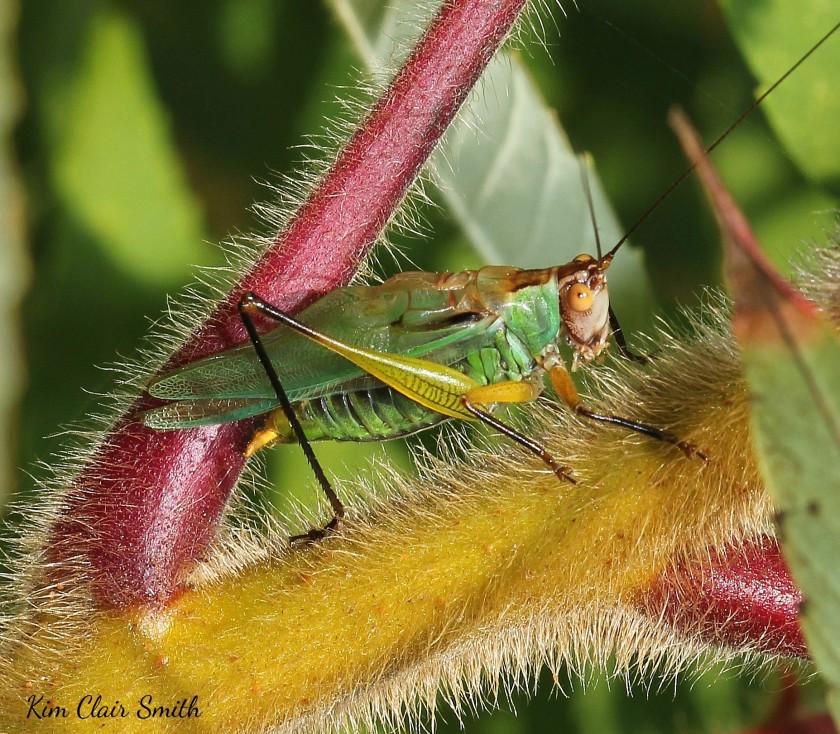 Black-legged Meadow Katydid singing on Sumac (8) w sig