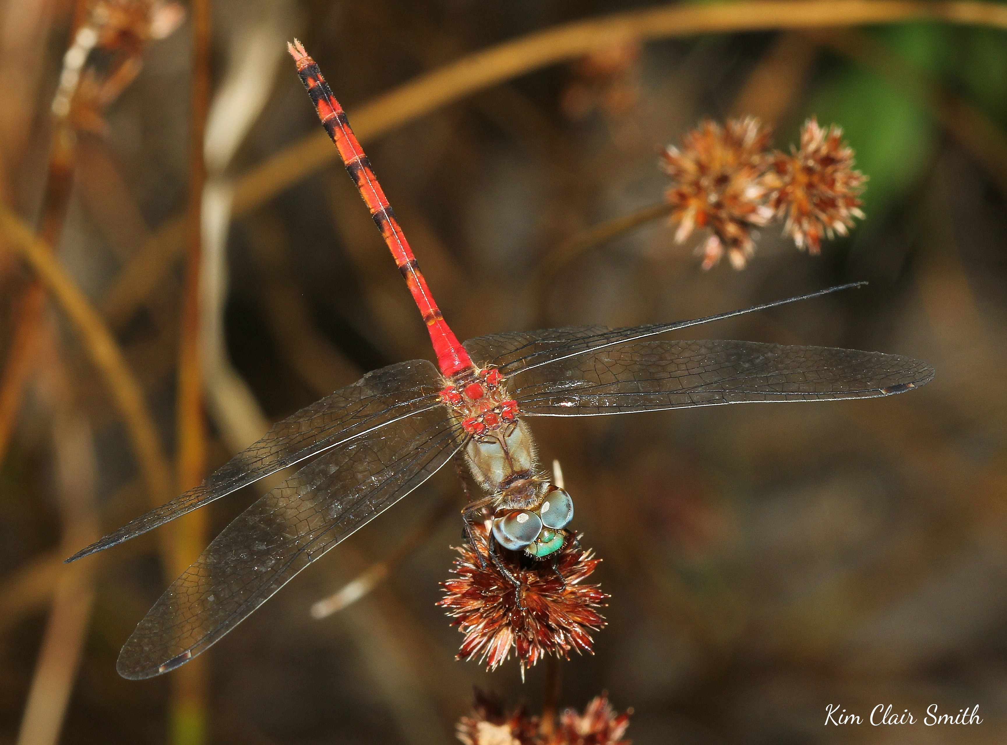 Blue-faced Meadowhawk (10) w sig - on knotted rush, Juncus nodosus