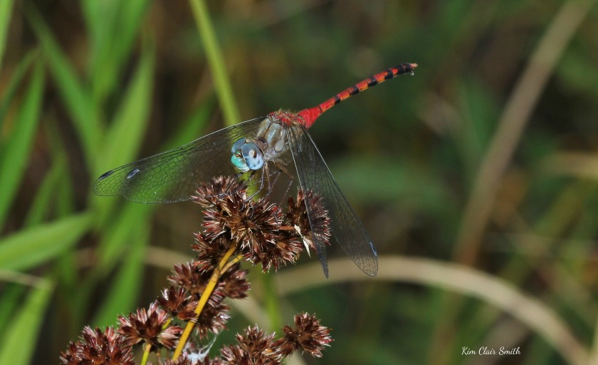 Blue-faced Meadowhawk on knotted rush - Juncus nodosus - w sig