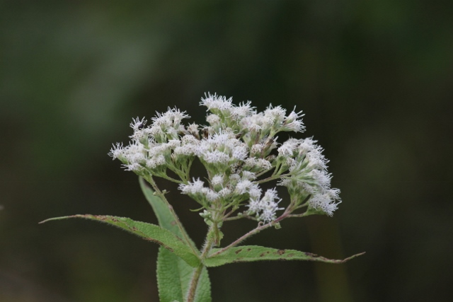Boneset for blog