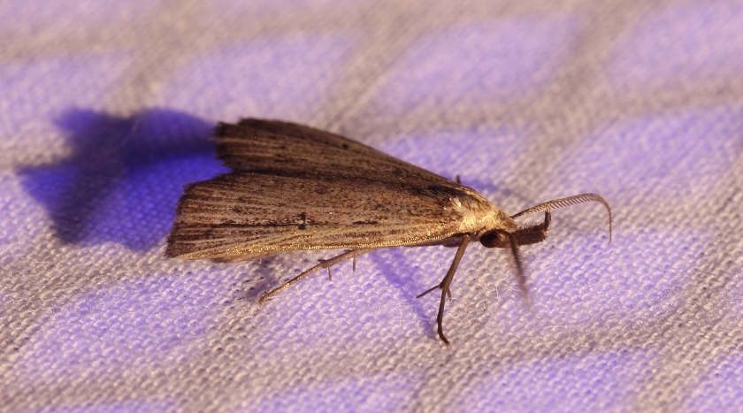 Bronzy Macrochilo moth - I think (5)