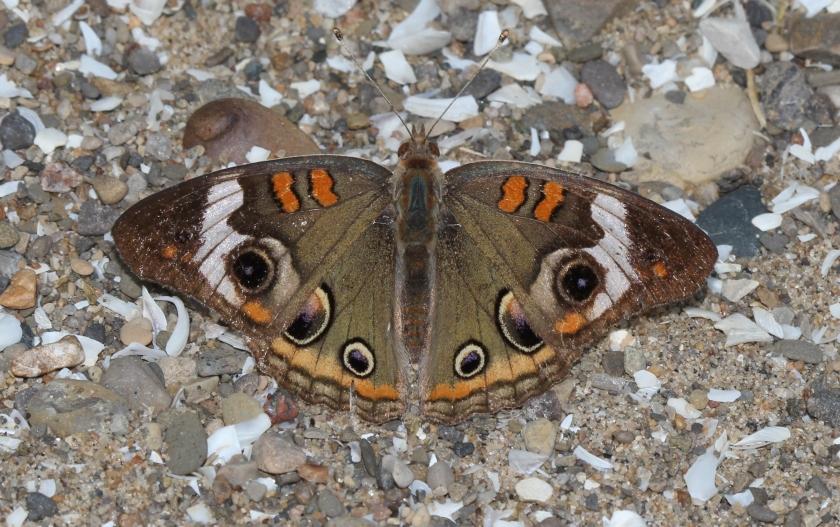Common Buckeye butterfly - Junonia coenia (2)