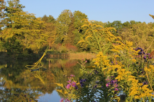 Goldenrod and asters in evening sun