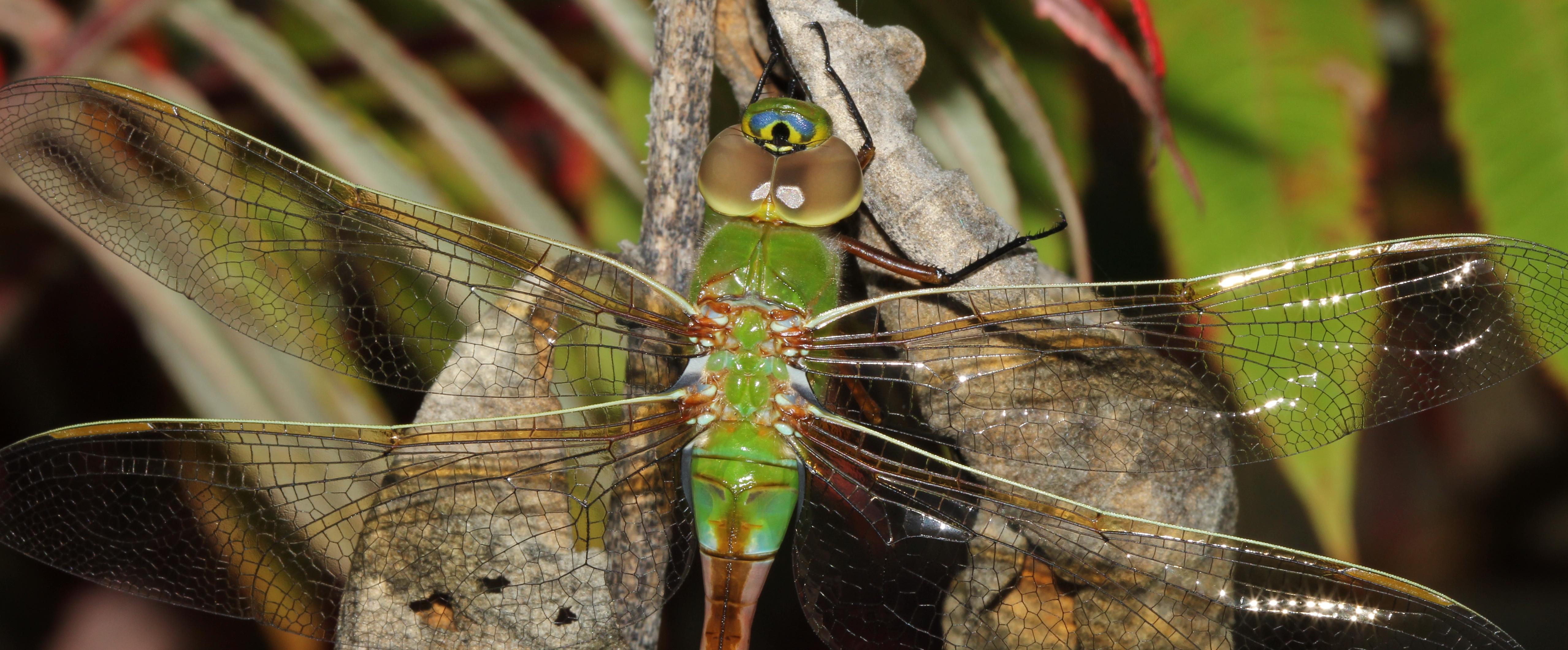Green Darner female - Anax junius (3)