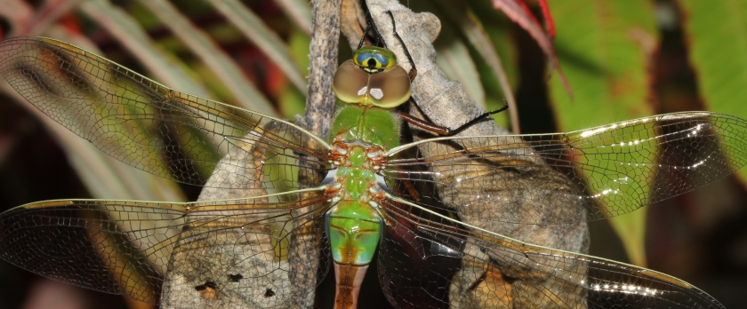 Green Darner female - Anax junius (3)