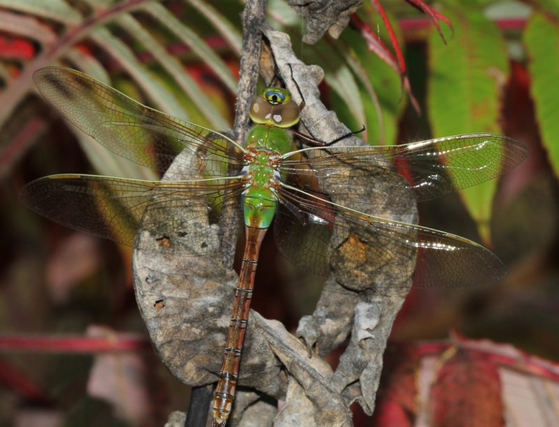 Green Darner female - Anax junius (7) (800x612)