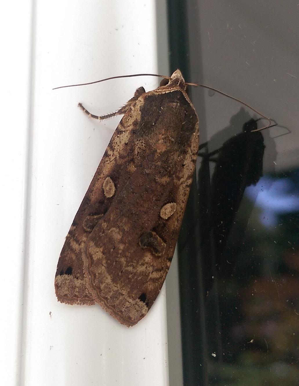 Large Yellow Underwing moth - on my front door (Noctua pronuba)