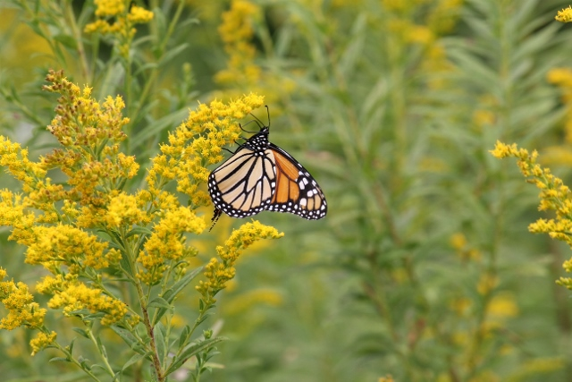 Monarch butterfly on goldenrod - for blog