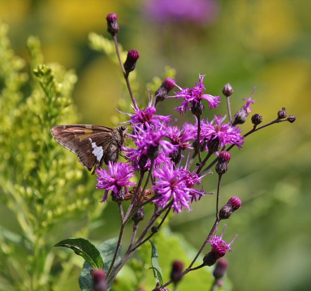 Silver-spotted Skipper on Ironweed for blog