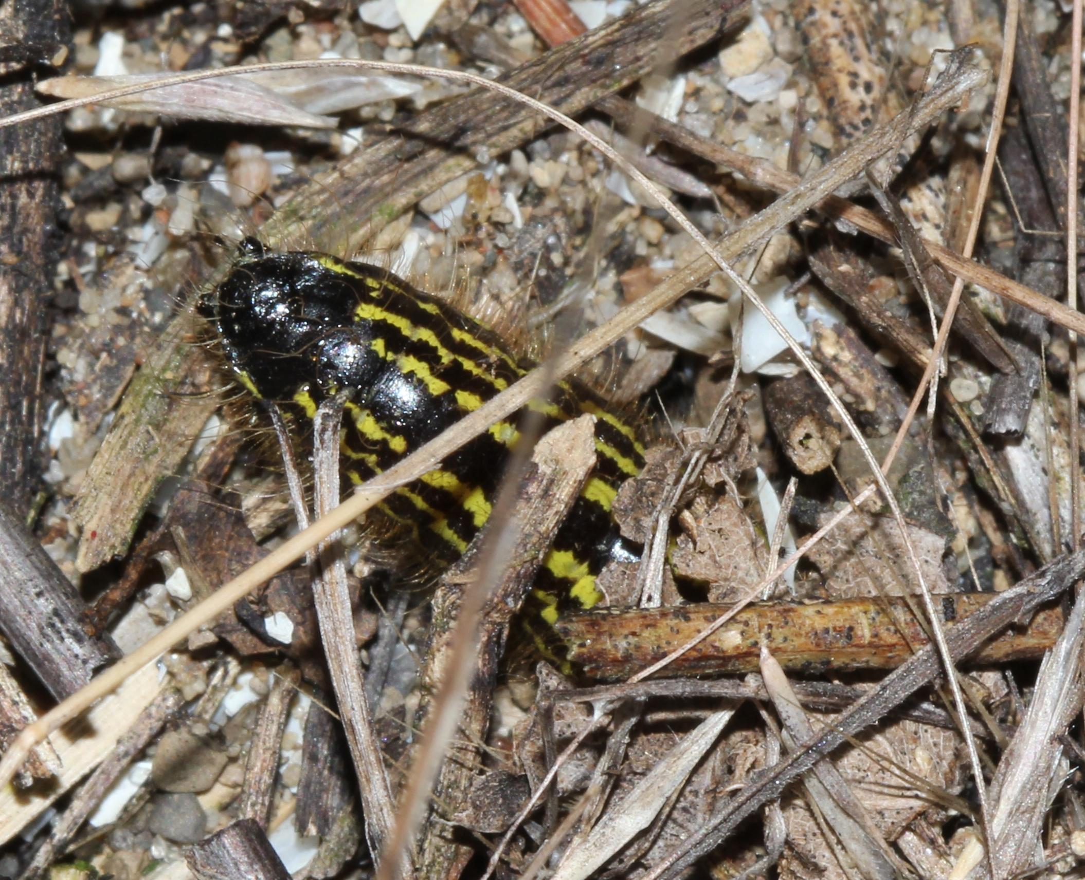 Spotted Datana caterpillar burrowing underground to pupate (2)