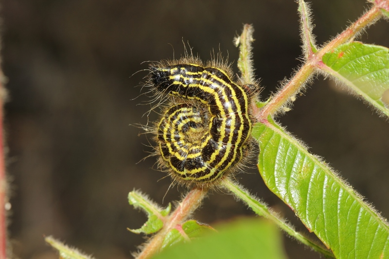 Spotted Datana caterpillar curled up (800x533)