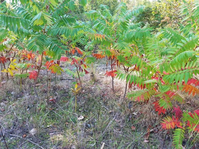 Sumacs at Magee for blog post Sept 2017 (640x480)