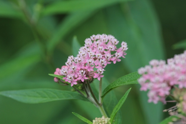 Swamp milkweed for blog