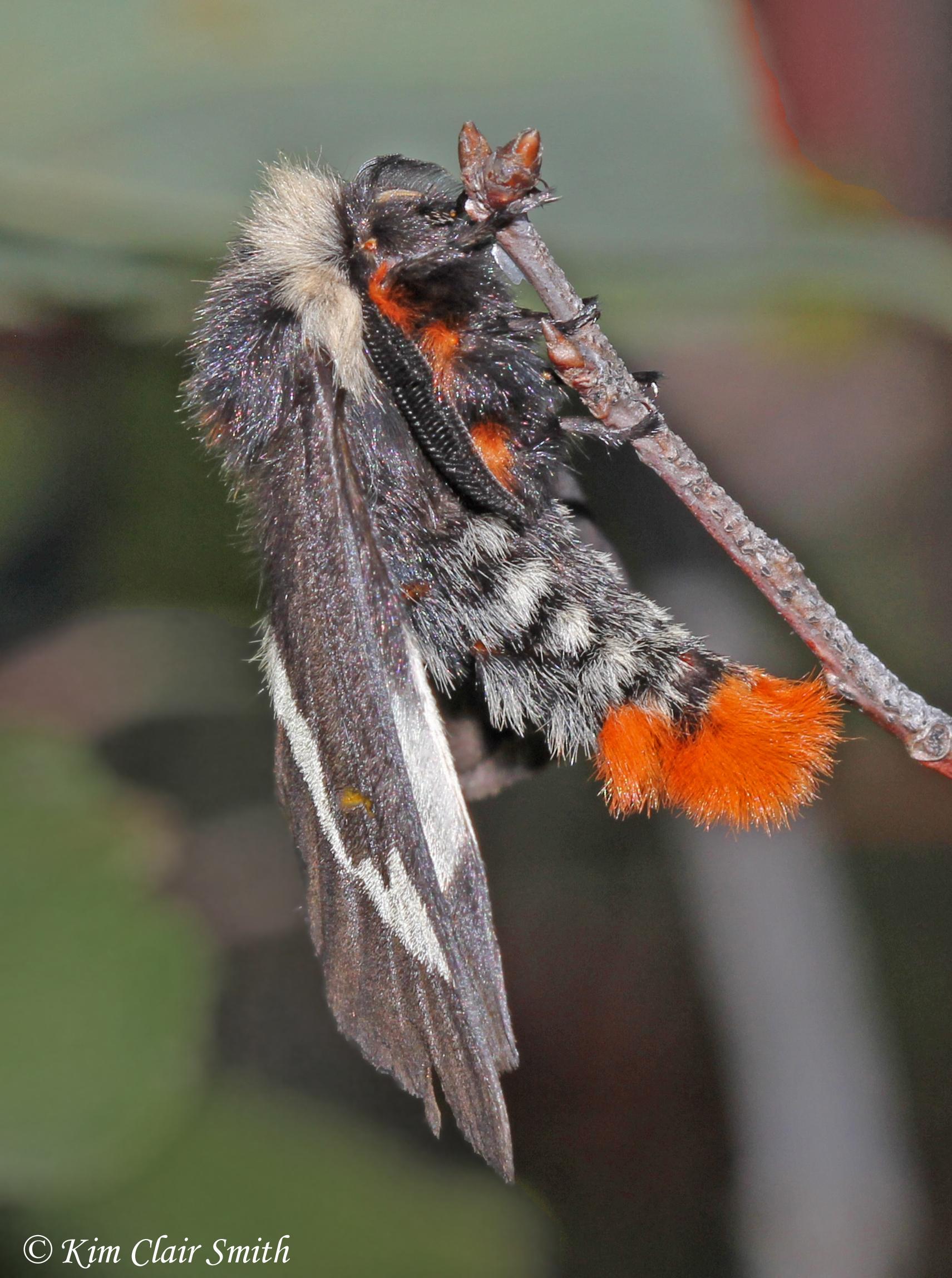 Buck moth on branch - side view
