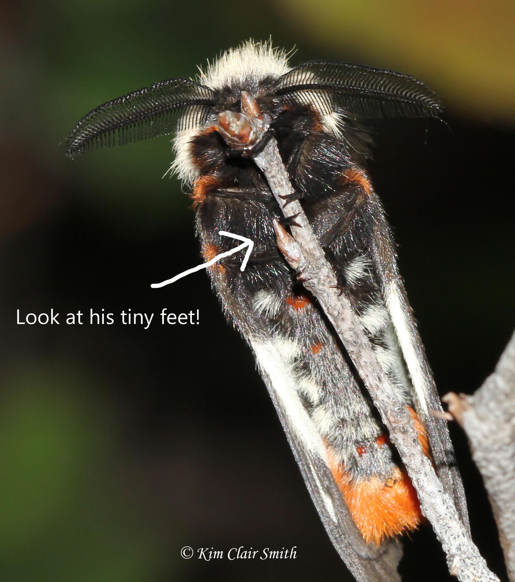 Buck moth with arrow to tiny feet