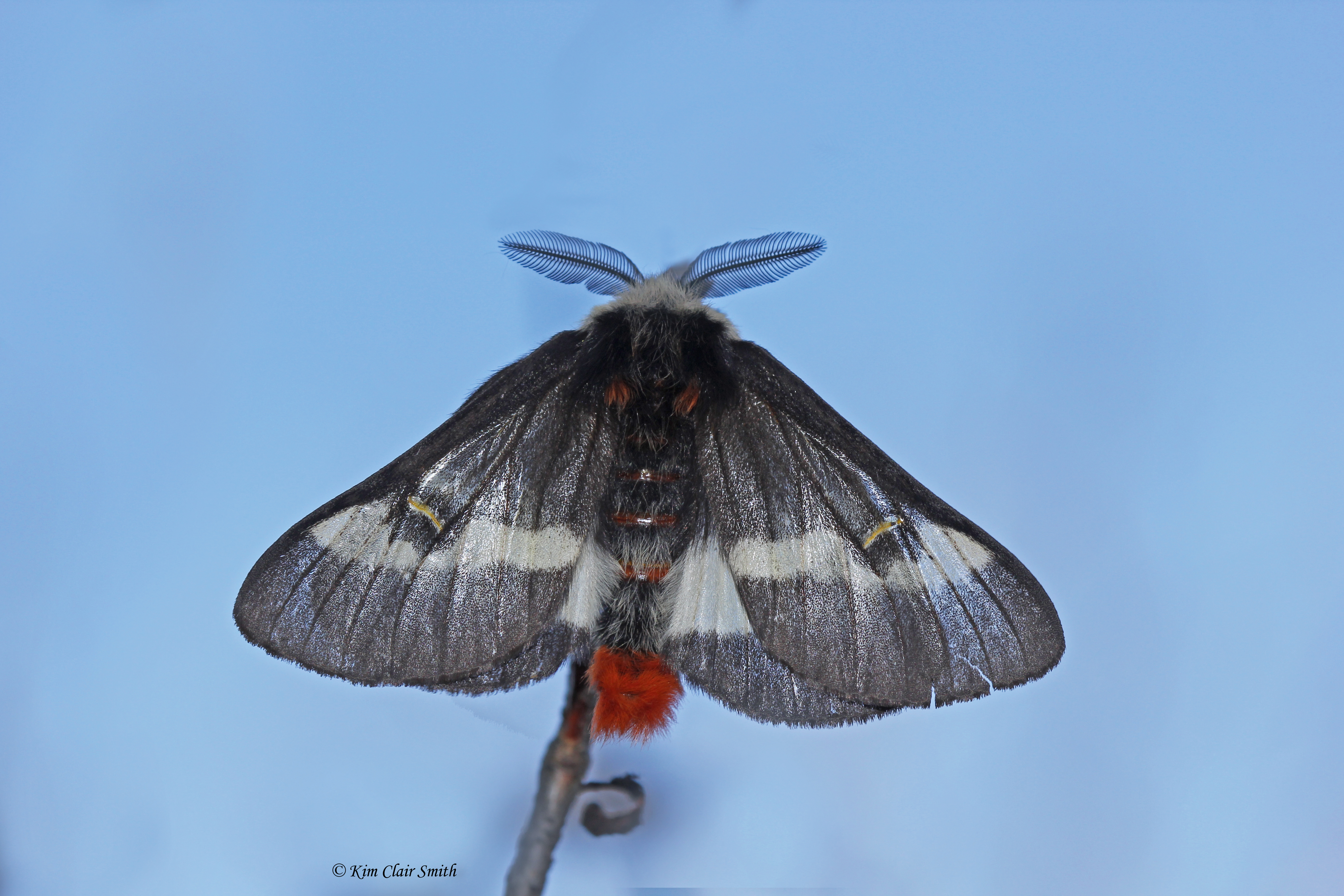 Buck moth dorsal view of spread wings with antennae