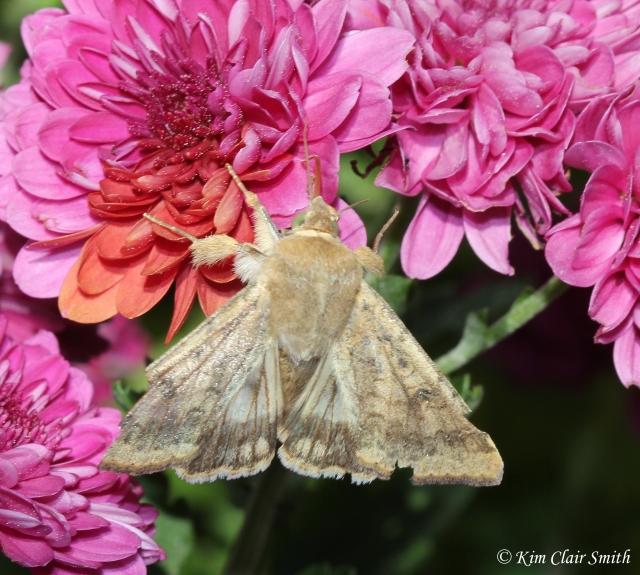 Corn Earworm Moth - Helicoverpa zea w sig