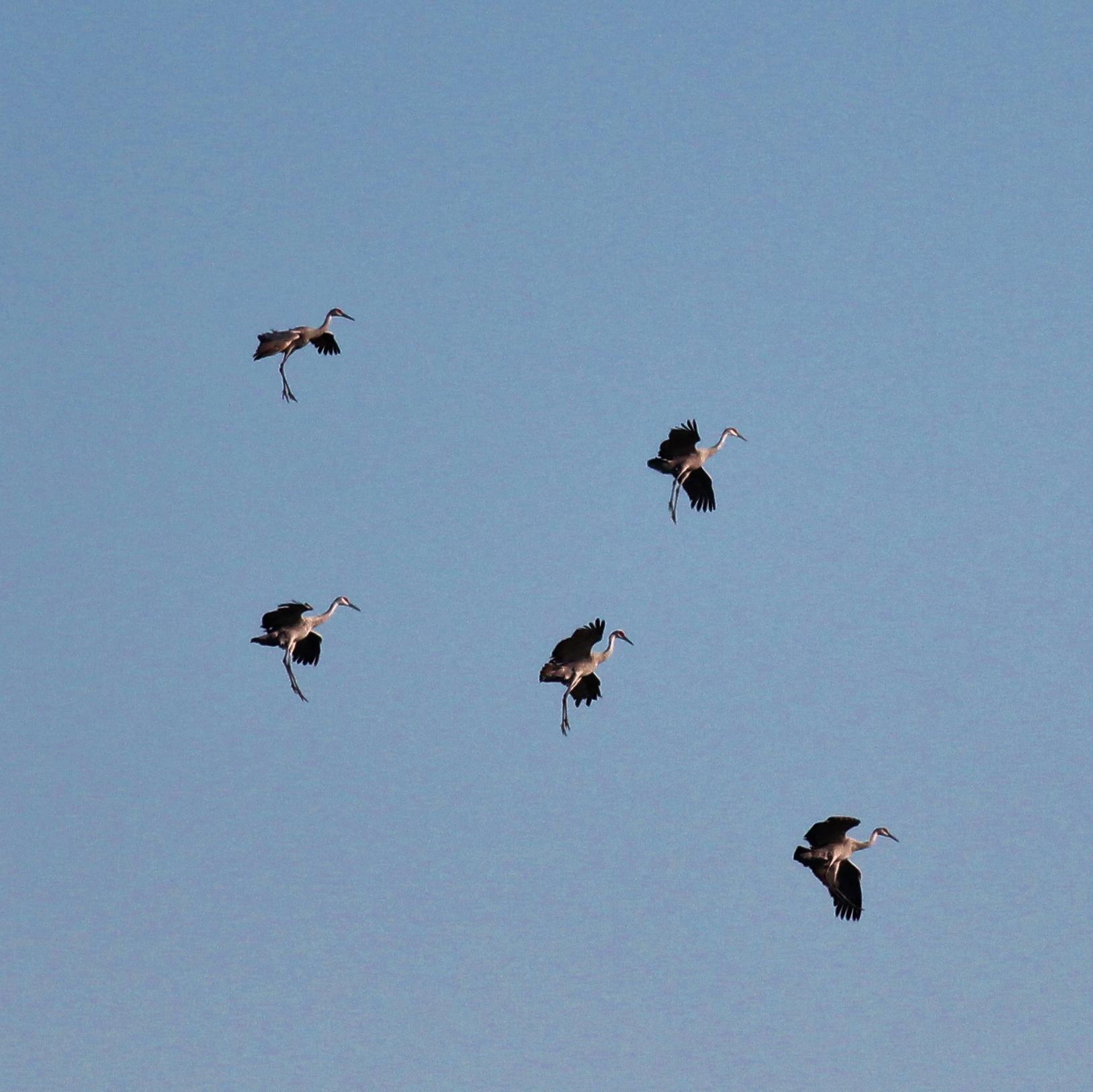Cranes landing with legs hanging down
