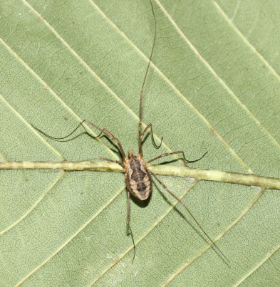 Eastern Harvestman aka Daddy Longlegs - not a spider (2)