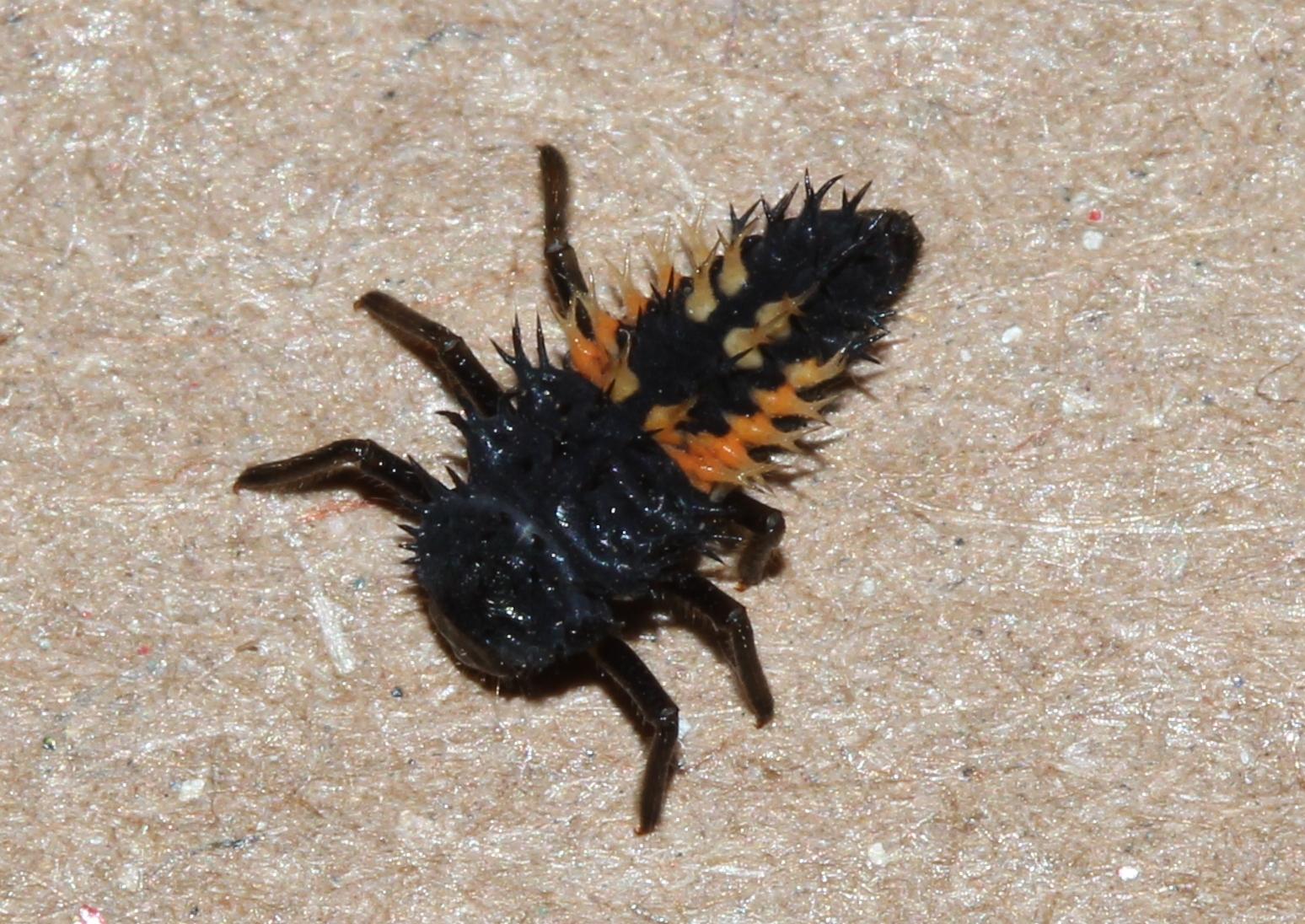 Lady beetle larva - my yard (4)