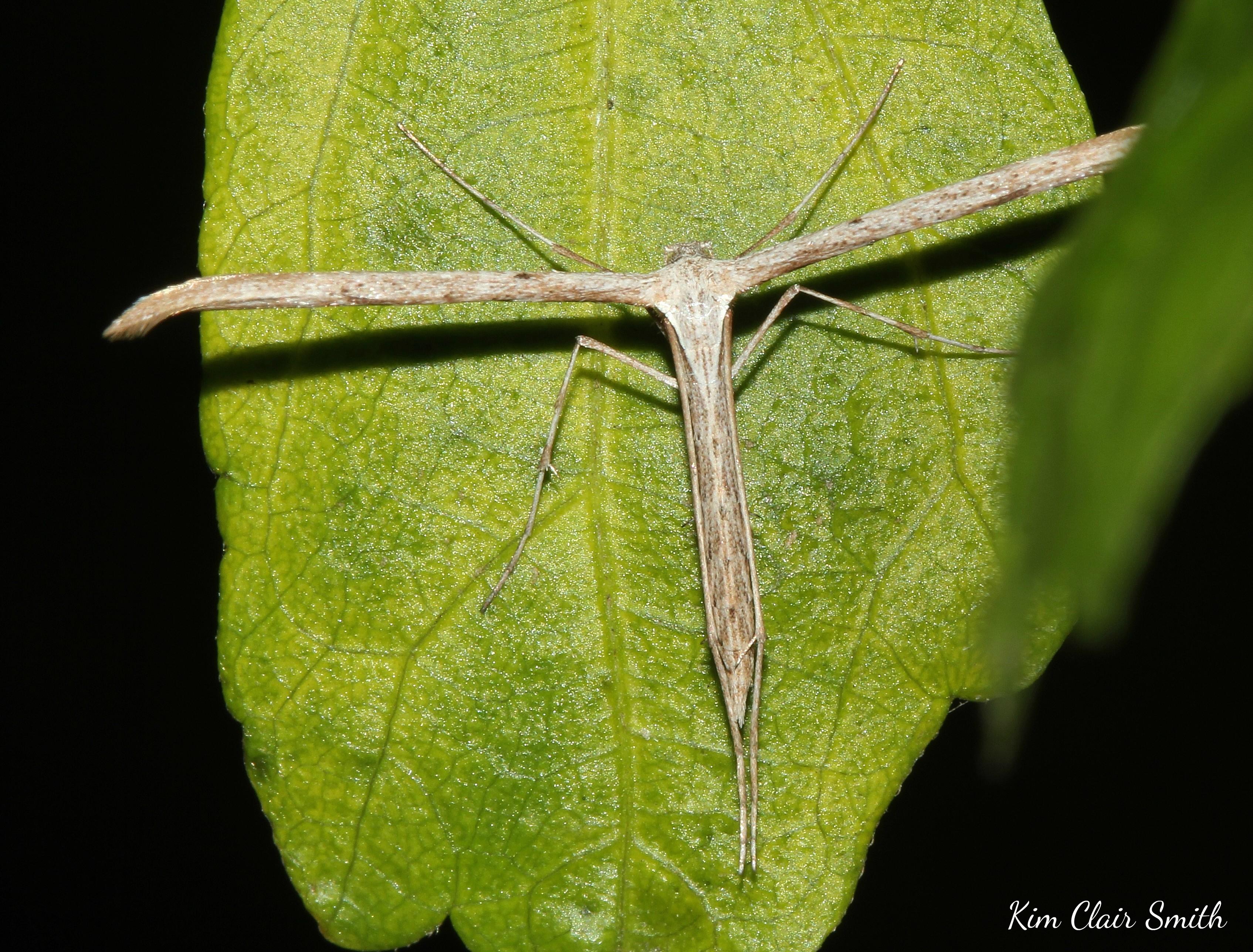 Plume moth - my yard w sig