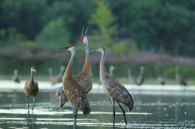 Sandhill Crane family vocalizing - grainy dusk pic
