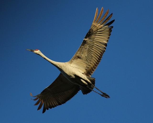 Sandhill Crane flyover BEST