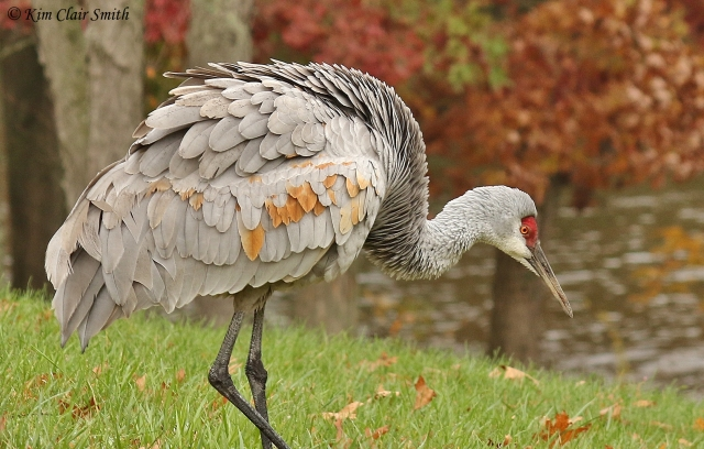 Sandhill Crane with fall foliage