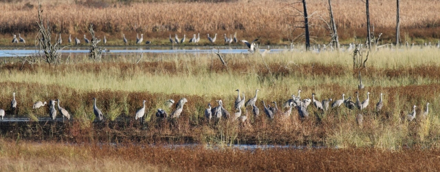 Sandhill Cranes in marsh at Baker Sanctuary 2012
