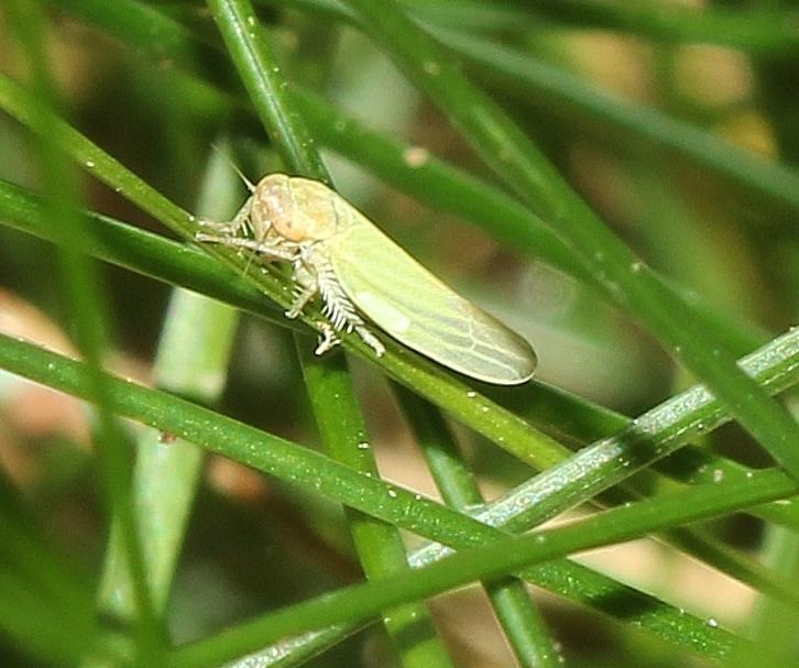 Teeny tiny leafhopper (3)
