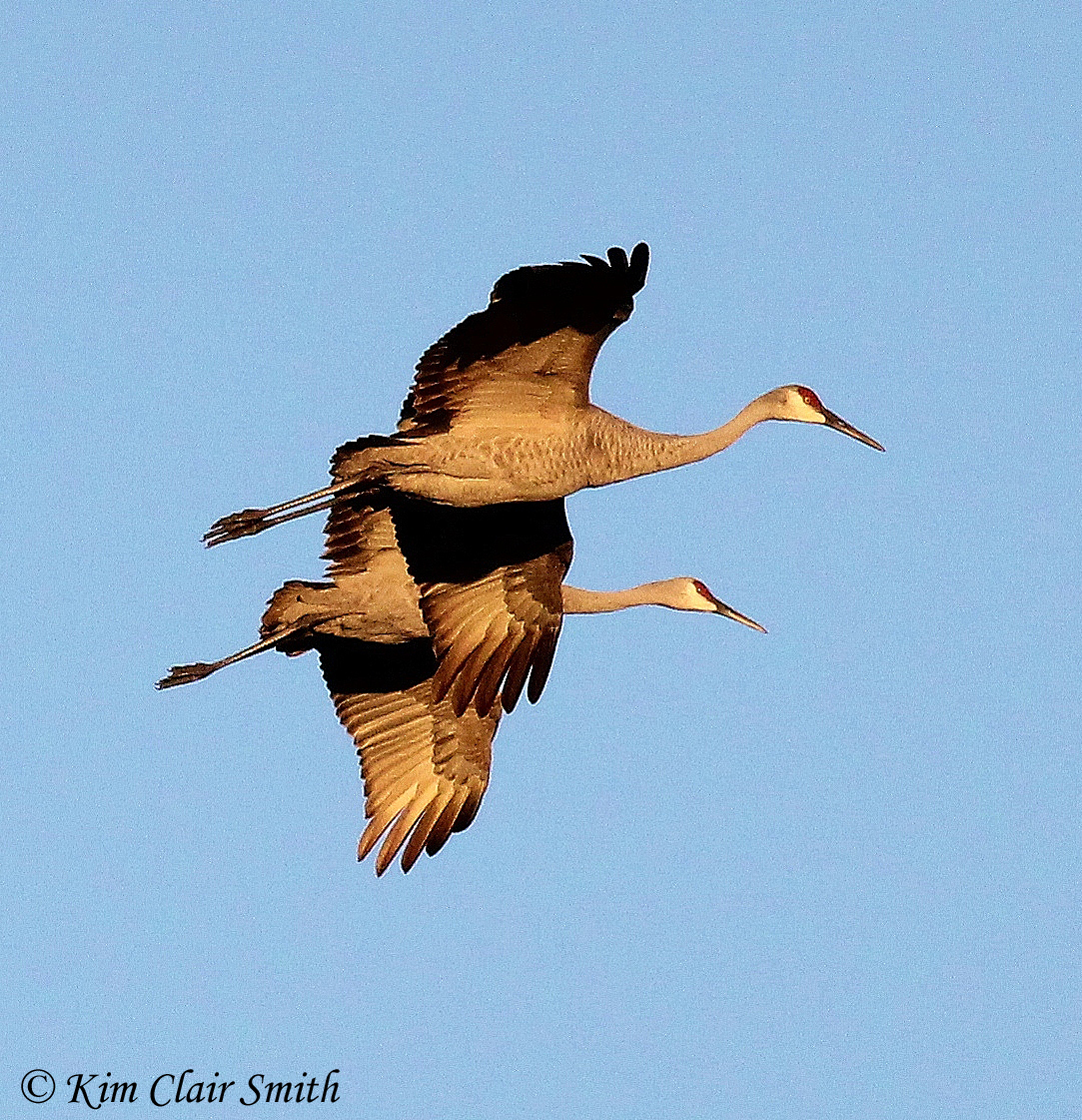 Two cranes in formation
