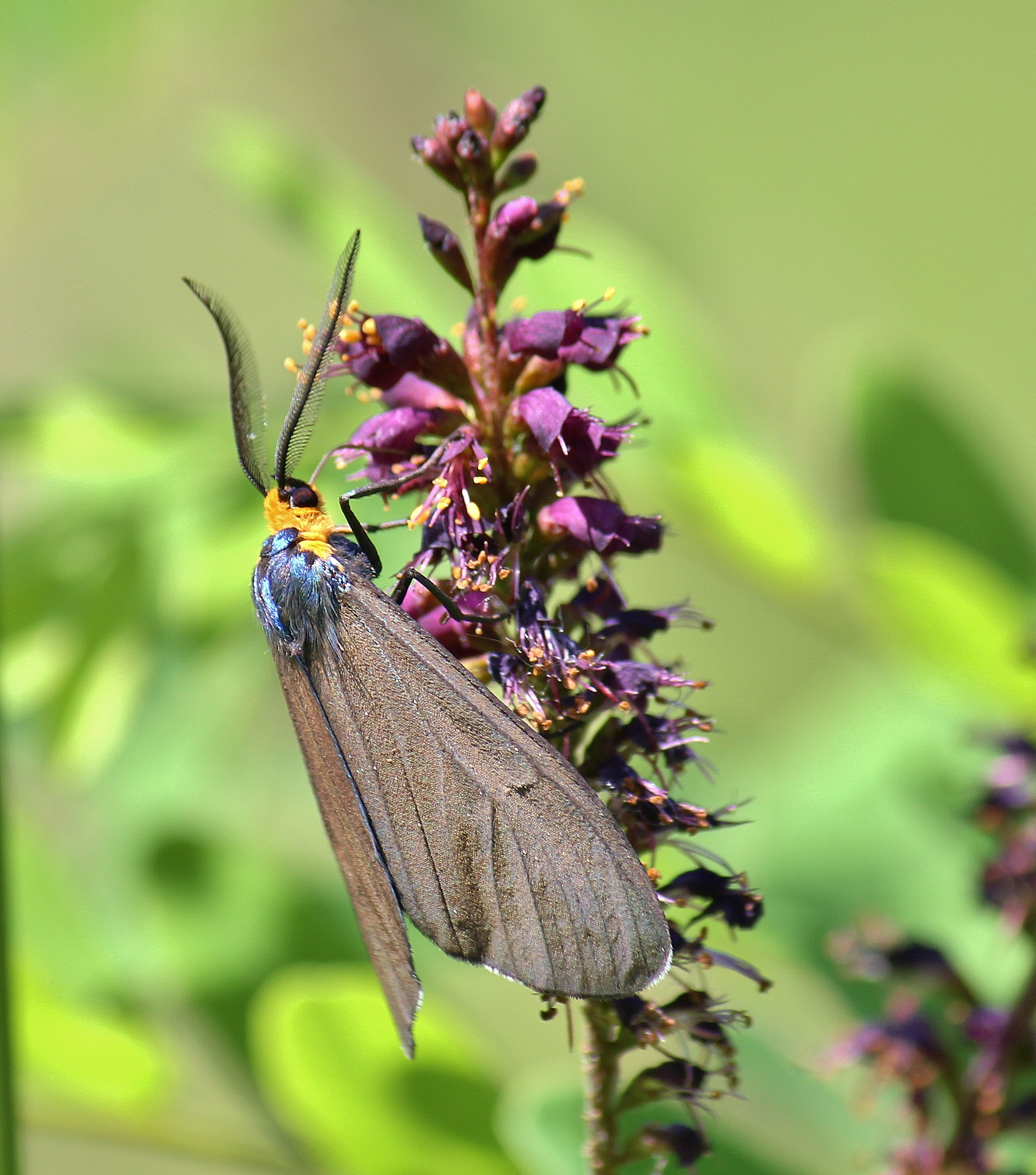 Another daytime-feeding moth