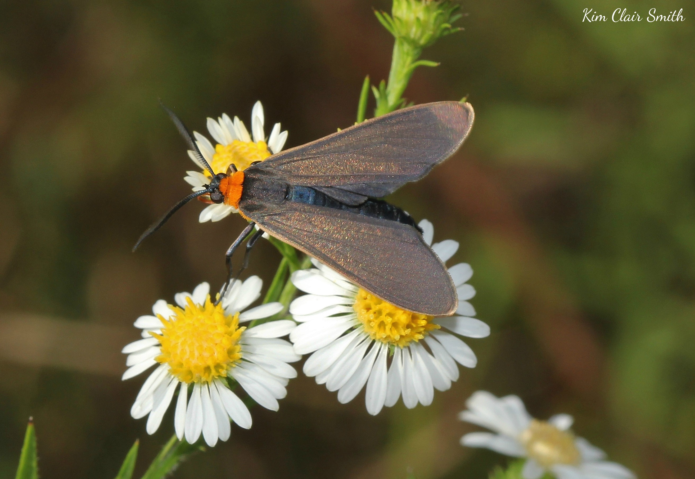 Yellow-collared Scape moth on asters w sig