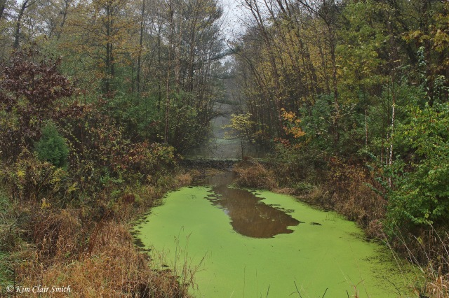 Algae-covered creek and beaver dam w sig
