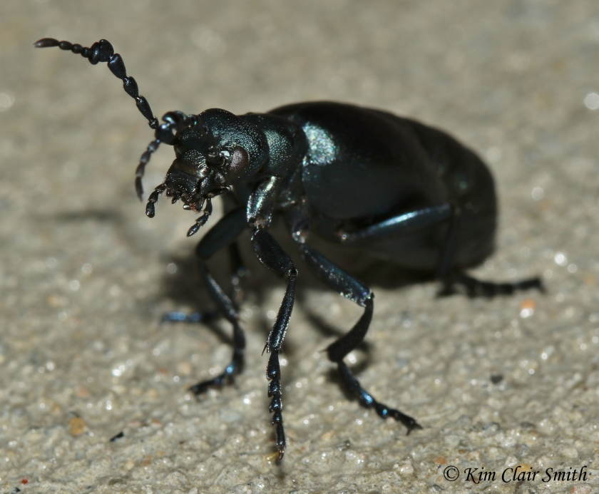Blister Beetle on my front sidewalk 11-2-17 - Meloidae w sig