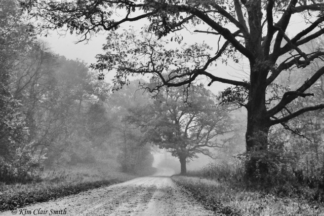 Fog and two big oak trees