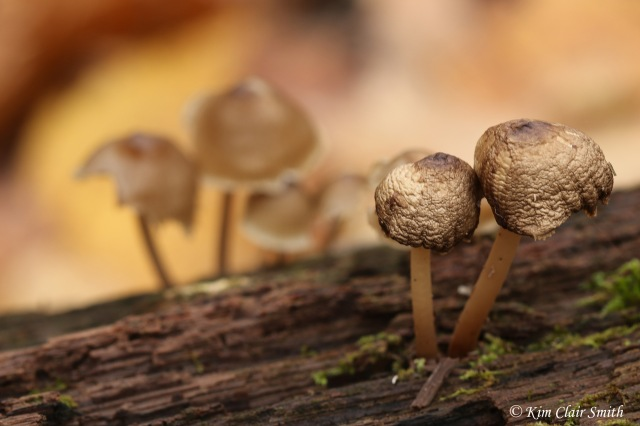 Little mushrooms on a log reduced w sig
