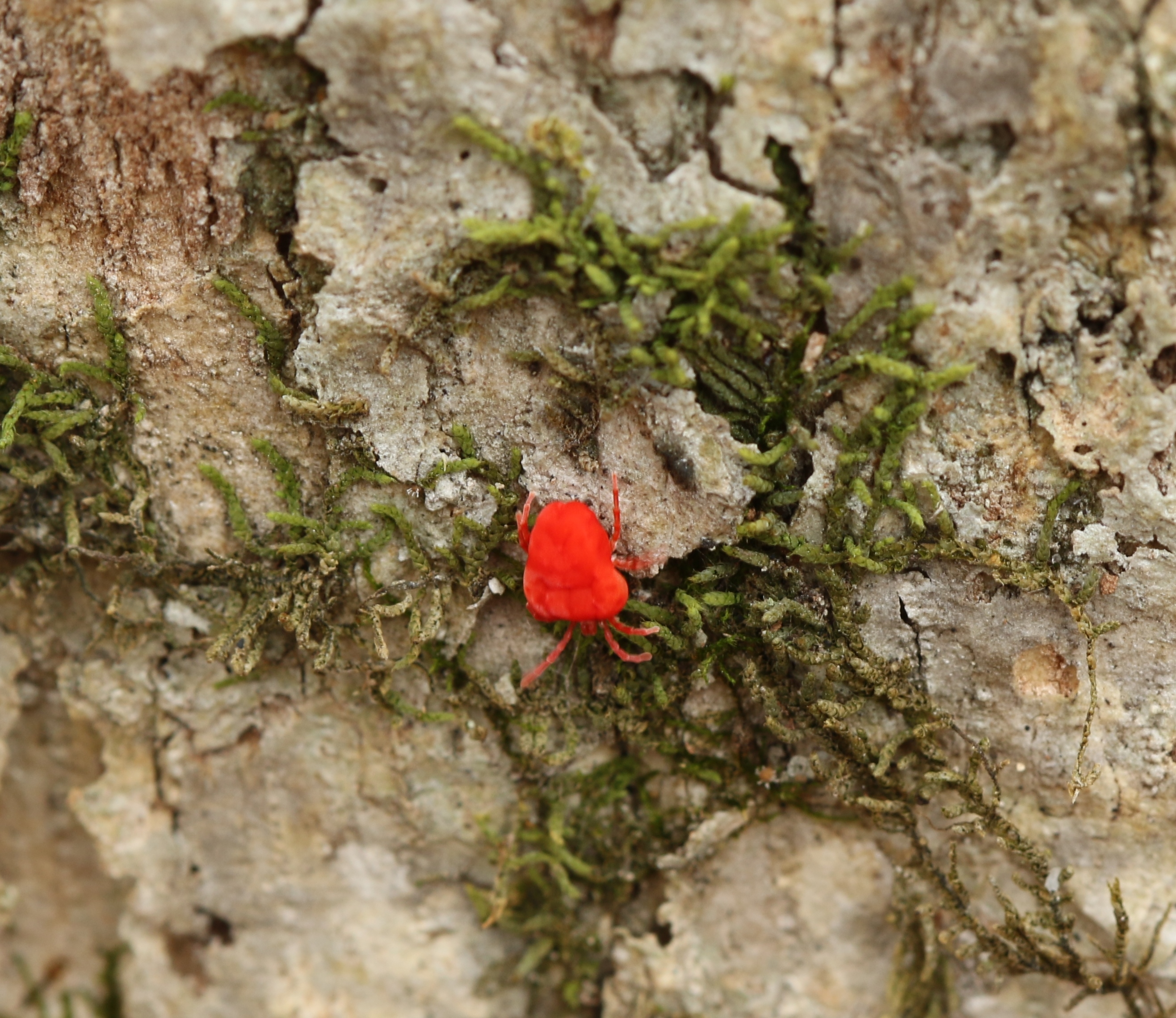 Red velvet mite and moss on tree bark