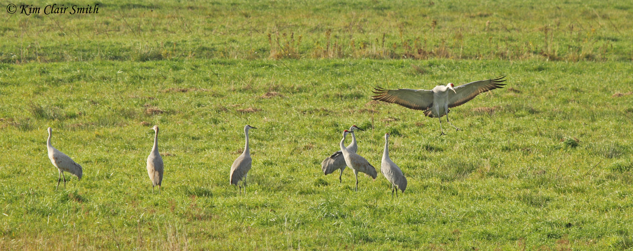 Sandhill crane landing with wings spread fully