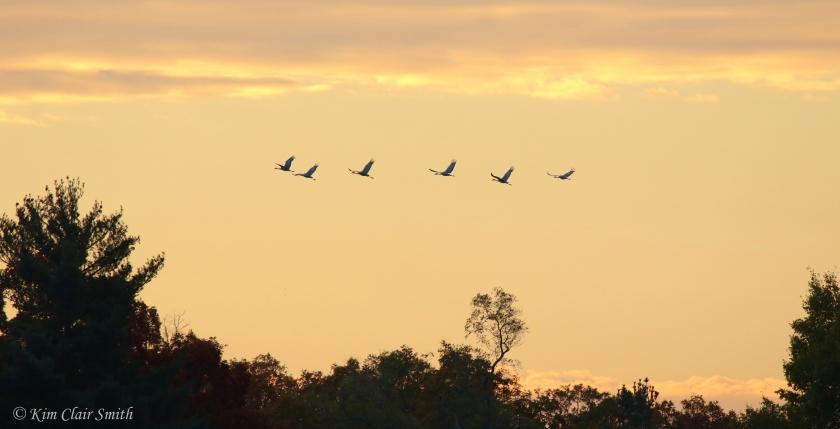 Sandhill cranes in flight against dawn sky