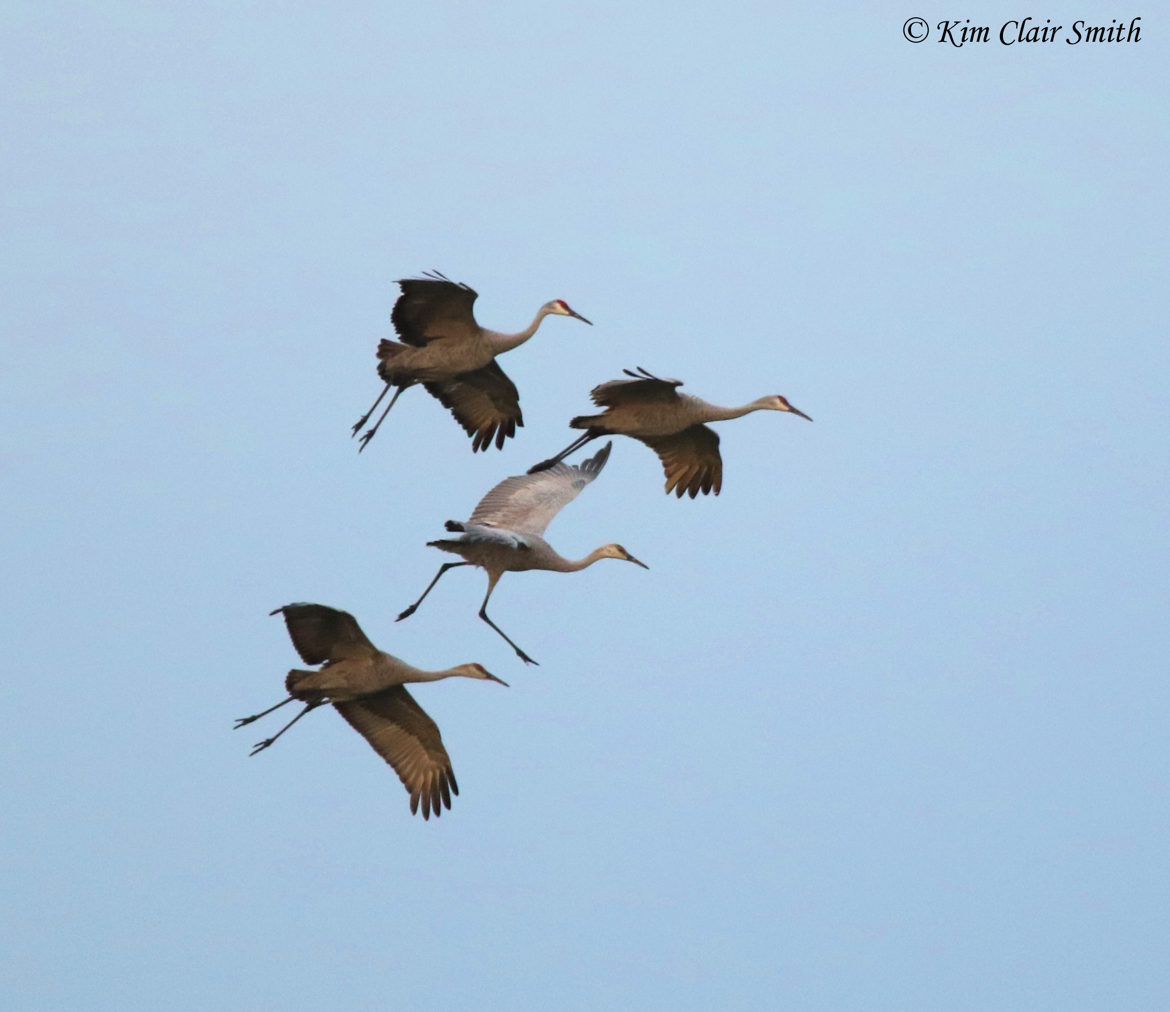 Sandhill cranes with legs down for landing w sig