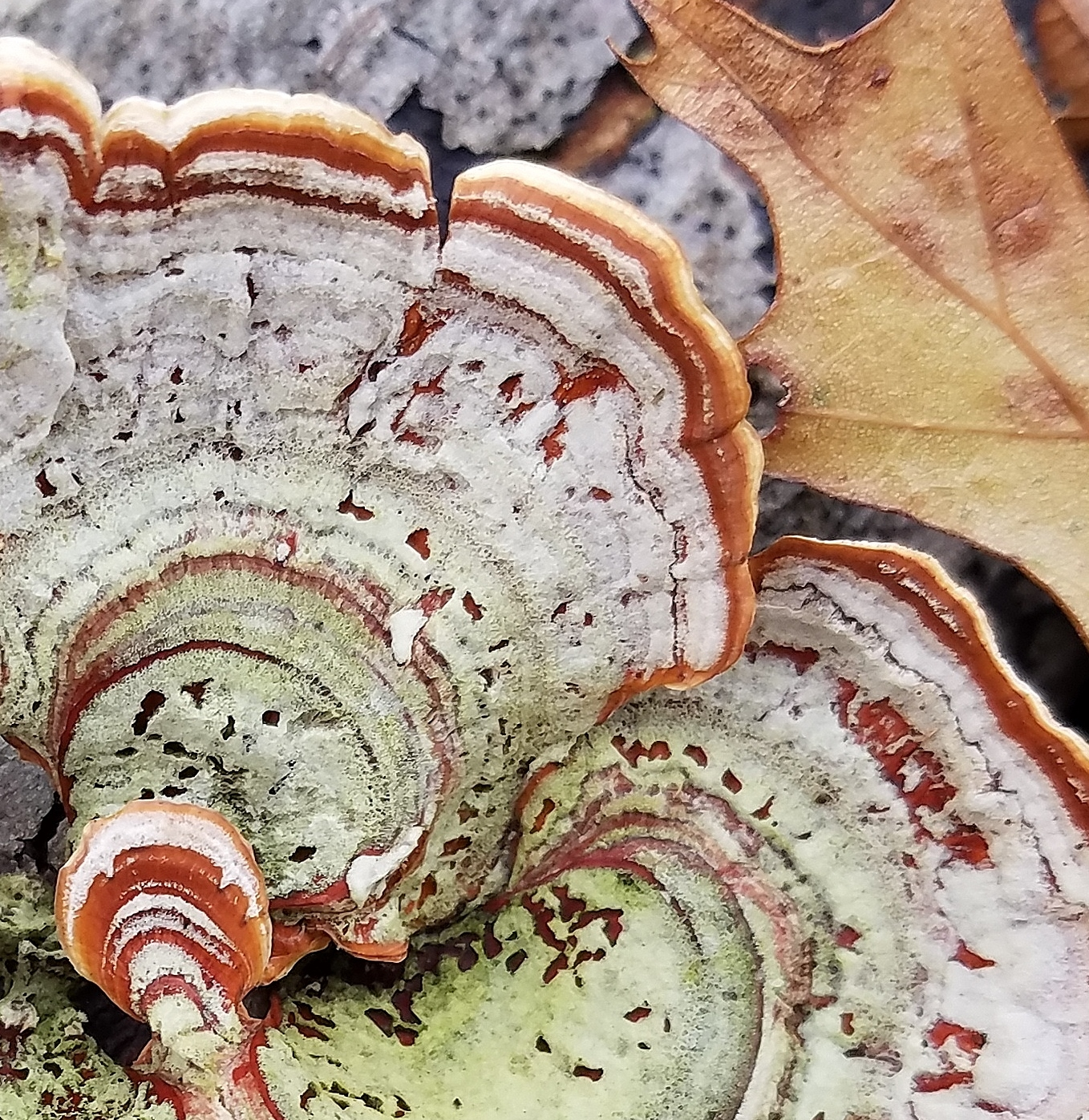 Turkey tail fungus - close crop for texture