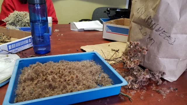 Ironweed seeds cleaned at Wild Ones event - for blog