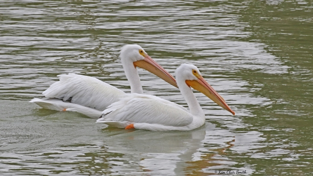 American White Pelicans w sig - copyright Kim Smith