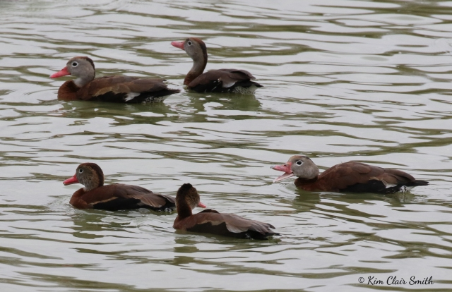 Black-bellied Whistling ducks w sig - copyright Kim Smith