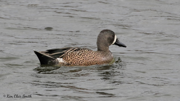 Blue-winged teal w sig