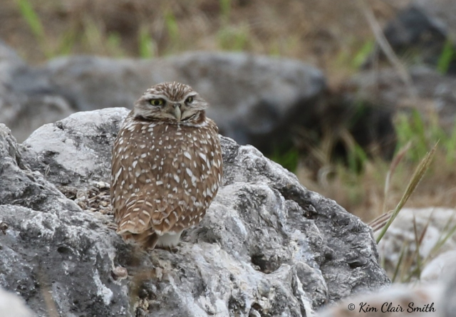 Burrowing Owl w sig
