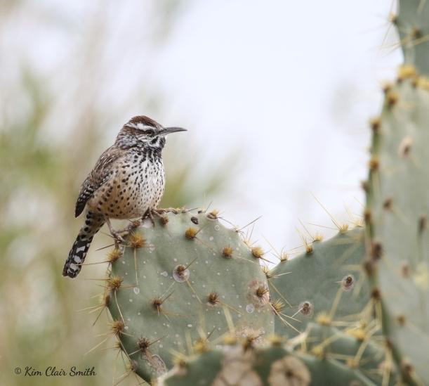 Cactus Wren w sig