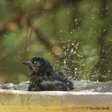 Grackle splashing water for blog w sig