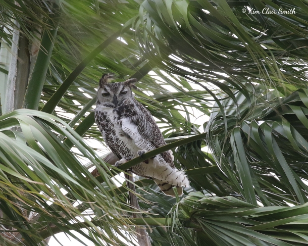 Great Horned Owl in palm tree and blowing wind v2 w sig
